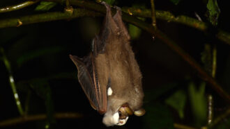 A face mask may turn up a male wrinkle-faced bat's sex appeal