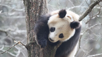 Giant pandas may roll in horse poop to feel warm
