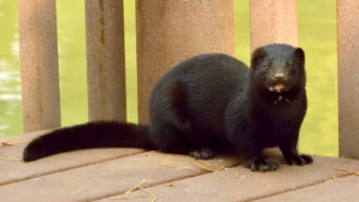 A mink in Utah is the first known case of the coronavirus in a wild animal