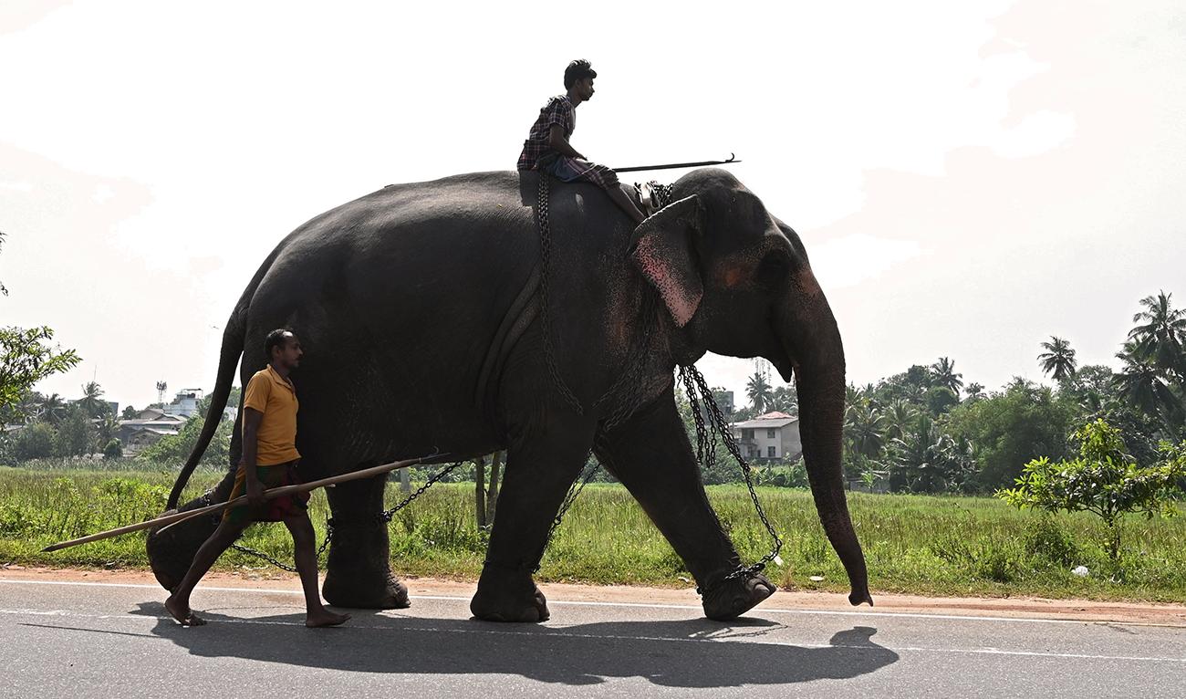 A jumbo problem: Sri Lanka sees world's highest elephant deaths