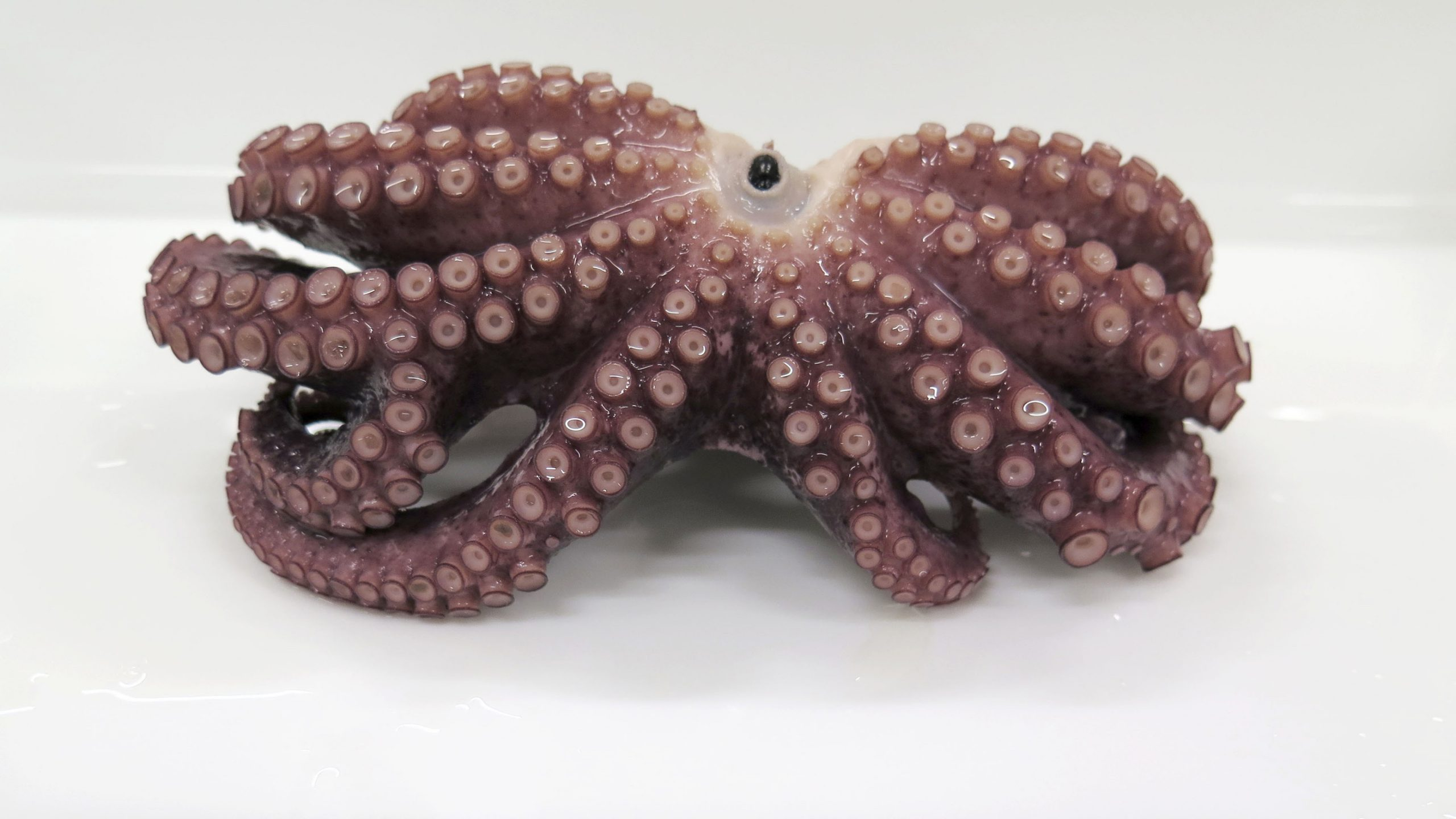 Rare 9-armed octopus found off Japan coast