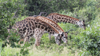 Having more friends may help female giraffes live longer