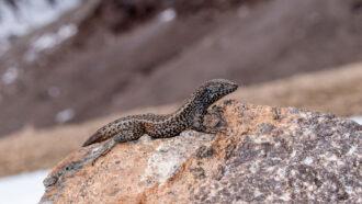A mountain lizard in Peru broke the reptilian altitude record