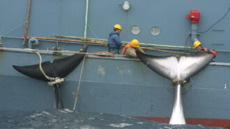 50 years ago, U.S. commercial whaling was coming to an end