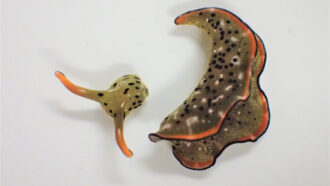 A sea slug's detached head can crawl around and grow a whole new body