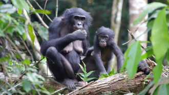 Two bonobos adopted infants outside their group, marking a first for great apes