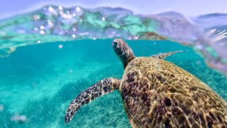 Why do sea turtles, penguins and sharks sometimes just swim in circles or spirals?