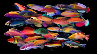 Flamboyant fishes evolved an explosion of color as seas rose and fell