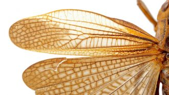 Insects had flashy, noise-making wings as early as 310 million years ago