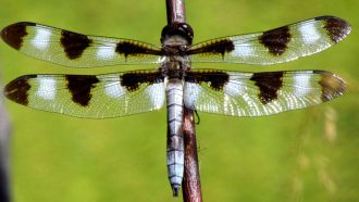 Climate change may rob male dragonfly wings of their dark spots