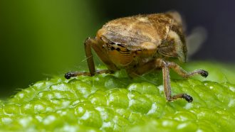 Froghoppers are the super-suckers of the animal world