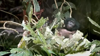 Climate change may be leading to overcounts of endangered bonobos