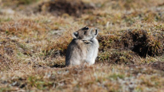 Pikas survive winter using a slower metabolism and, at times, yak poop