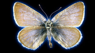 This butterfly is the first U.S. insect known to go extinct because of people