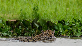 Huge numbers of fish-eating jaguars prowl Brazil's wetlands