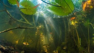 How these sea-loving mangroves ended up far from the coast