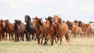 Scientists found modern domestic horses' homeland in southwestern Russia
