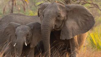 Tuskless elephants became common as an evolutionary response to poachers